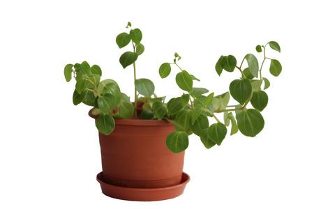 flowerpot: Peperomia obtusifolia. House plant on the flowerpot. Stock Photo