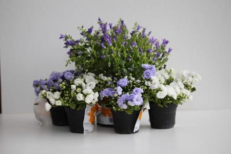 lobelia: Five campanula flowerpot isolated on grey Stock Photo