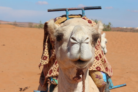 full face: A full face of the camel.