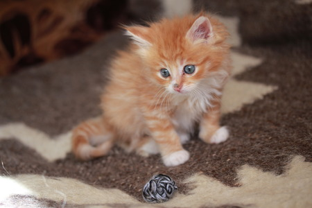 first move: Young ginger Siberian cat.