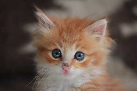first move: Young ginger Siberian cat. Our lovely pets. Stock Photo