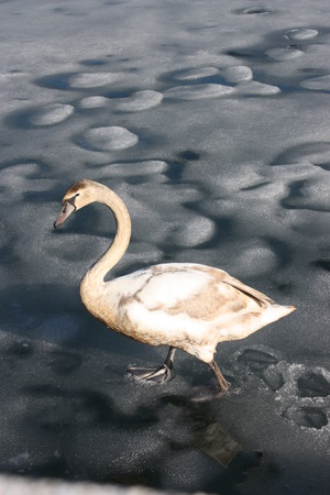 zell am see: Swan on lake Zell in Zell Am See, Austria