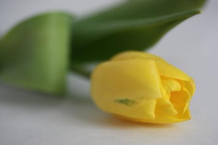 dearness: Yellow tulip.