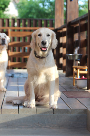 Golden retriever sitting on the terrace.