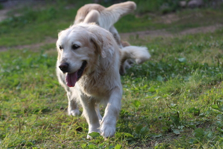 Golden retriever is running. Stock Photo