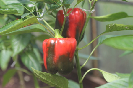 hotbed: Growing Pepper in a Greenhouse.