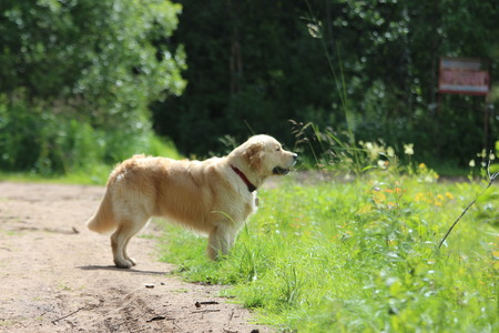 Golden retriever walk on the forest.