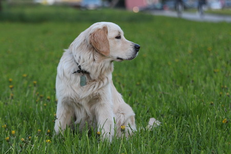 Golden Retriever dog outdoor. Walk in the park.