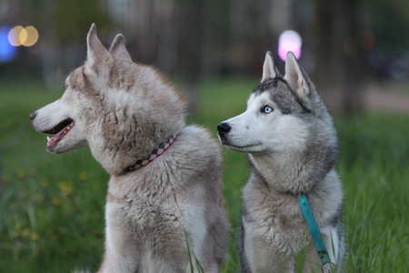 Siberian husky family. One with brown and one with blue eyes. Walk in the park. Stock Photo