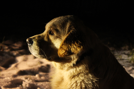 Golden retriever head in the dark.