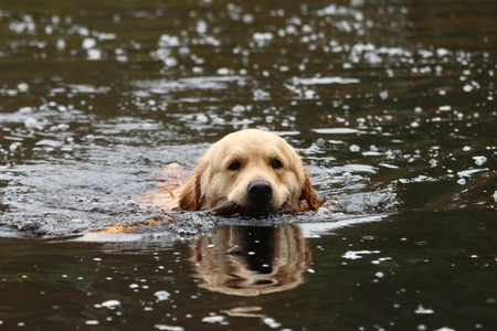 Golden retriever swimming in the lake.