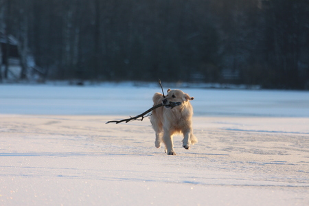 Golden Retriever is running with stick in mouth. Winter.