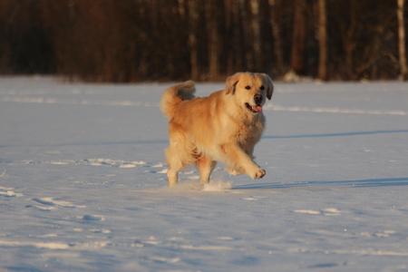 Golden Retriever  is running. Winter.