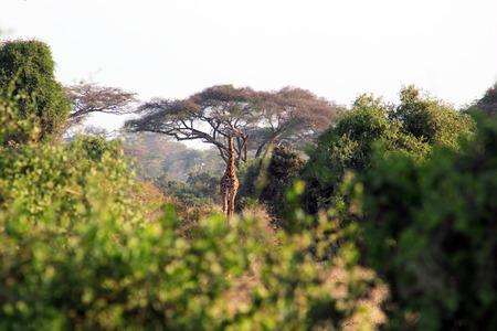 herbivorous animals: girafa