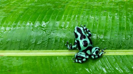 green and black frog in Costa Rica 写真素材