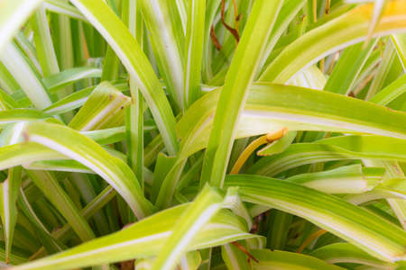 Closeup of green ribbons of chlorophytum comosum plant, air purifying plant