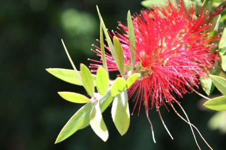 callistemon: Callistemon Stock Photo