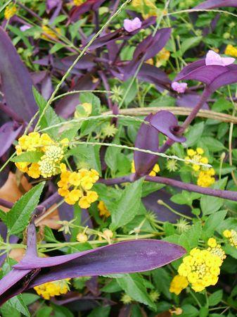 lantana: Lantana and purple leaves - closeup