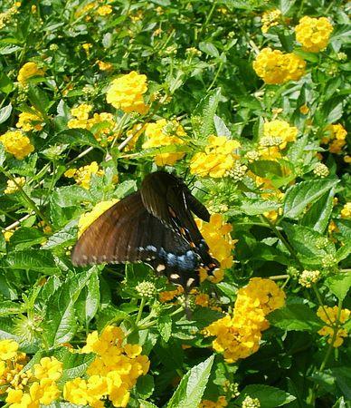 lantana: Lantana and monarch butterfly