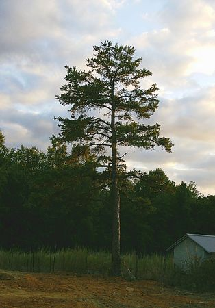 Lonely pine at sunset Stock Photo - 1703694