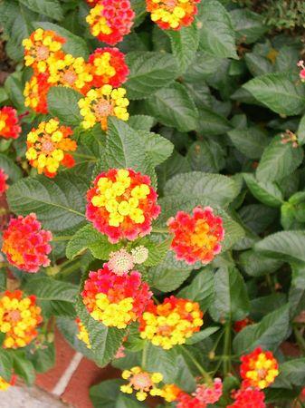 lantana: Red and yellow lantana Stock Photo