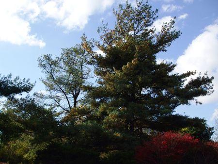 burning bush: Autumn leaves in Asheville, NC - burning bush and pine tree