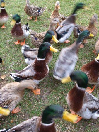 stampede: Duck stampede Stock Photo