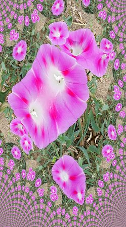 Pink morning glory fractal