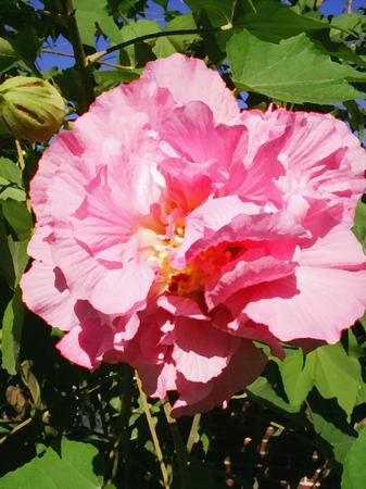 Roze hibiscus - olieverf schilderij op linnen textuur