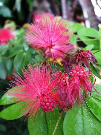 powder puff: Powder puff plant Stock Photo