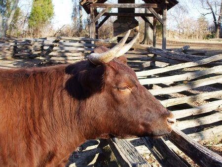 Cow Stock Photo - 2522757