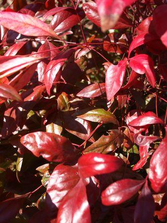 burning bush: Burning bush leaves Stock Photo
