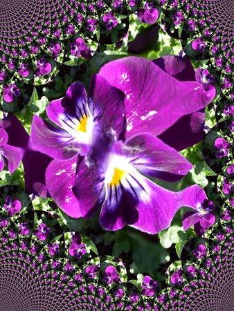 Purple pansy - fractal