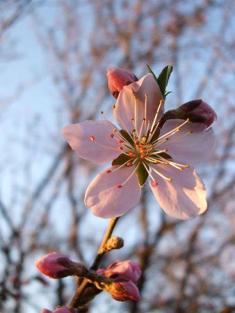 Dogwood blossom Stock Photo