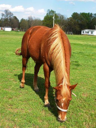 munching: Brown horse munching on some clover Stock Photo