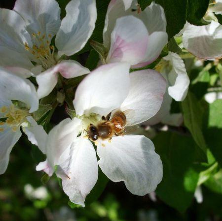 Bee in een appel bloesem