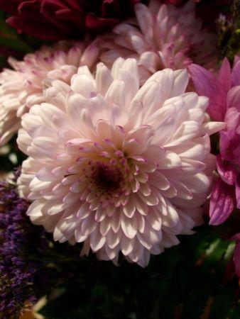 Pale pink dahlia Imagens
