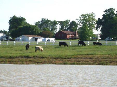 Pays paysage avec des vaches - peinture à l'huile Banque d'images - 3071360