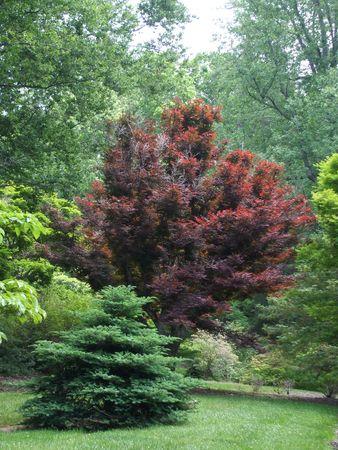 Scarlet maple