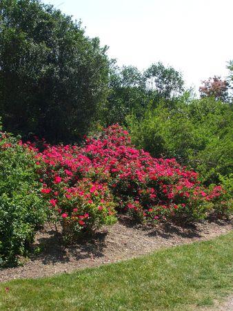 Rose bushes in bloom Archivio Fotografico