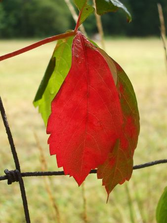 Bright red wild grape leaf photo