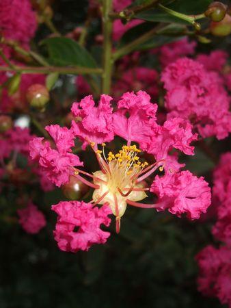 Pink crape myrtle - dark background photo