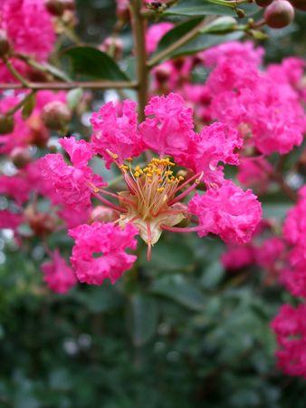 Pink crape myrtle - natural background photo