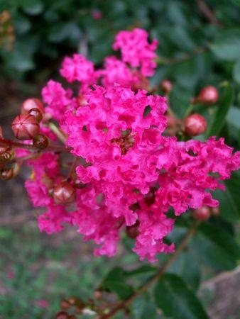 Pink crape myrtle cluster photo