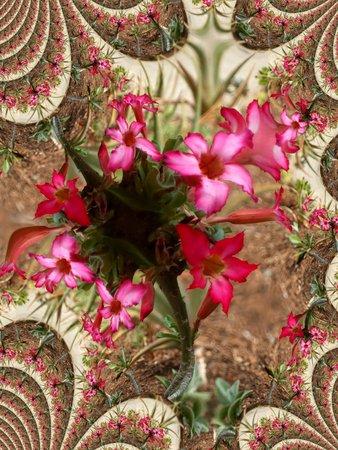 Desert rose - fractal