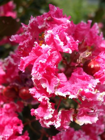Bright pink crape myrtle flowers with white edge Stock Photo - 3421865