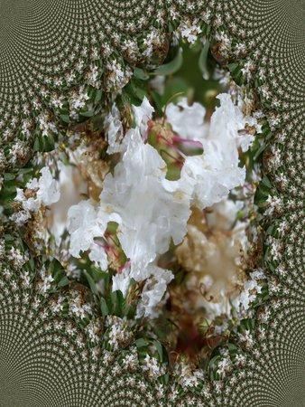 myrtle: White crape myrtle flowers after the rain - fractal map Illustration