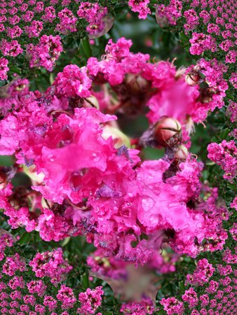 Pink crape myrtle after rain - fractal