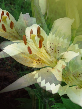 White Oriental lily - illusion illustration