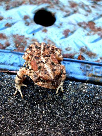小さな茶色のカエル